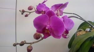 ブログ用 蘭の花