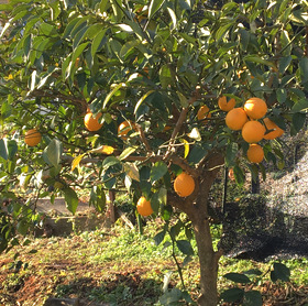 収穫しきれないレモンライム